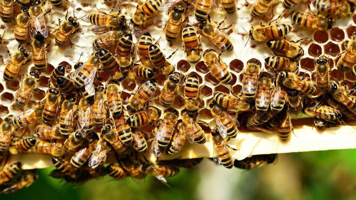Homem morre após ser atacado por 'centenas de abelhas' Reprodução da Internet