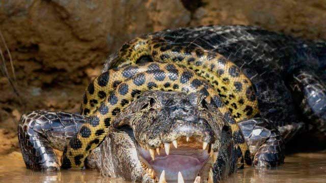 Fotógrafo americano registrou uma sucuri atacando um jacaré, no Pantanal Foto: Reprodução/Instagram Kim Sullivan