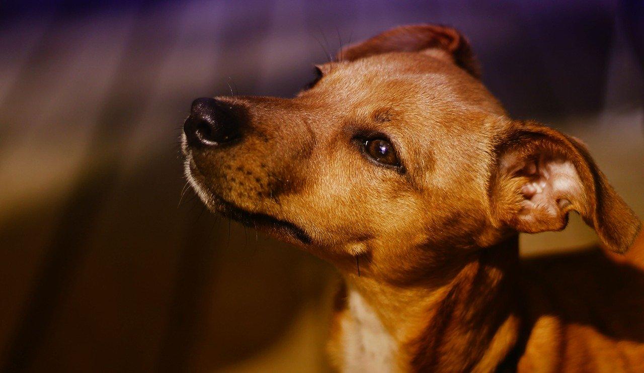 cachorro caramelo