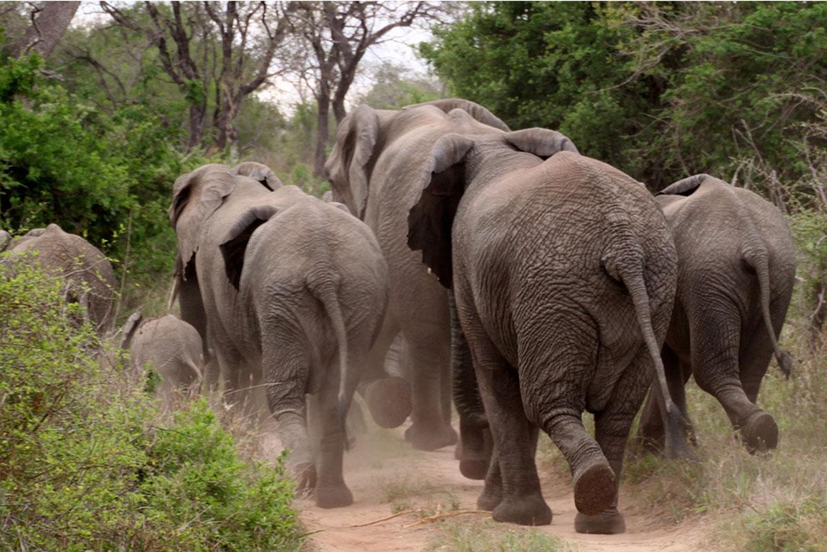 Elefantes pisotearam homem