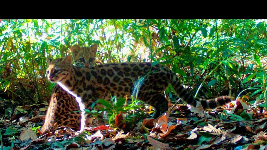 Leopardus guttulus.jpg.jpeg
