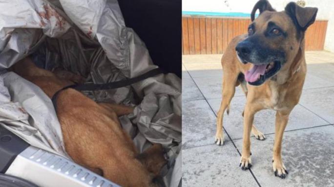 Cão sem dono, atropelado, escapa da eutanásia volta a andar