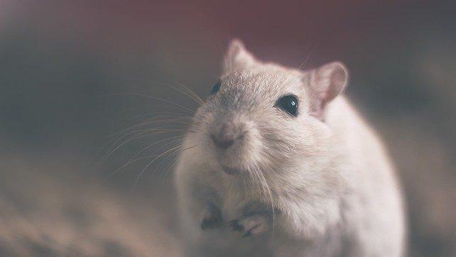 Dia Mundial do Rato: o lado vilão e herói do animal