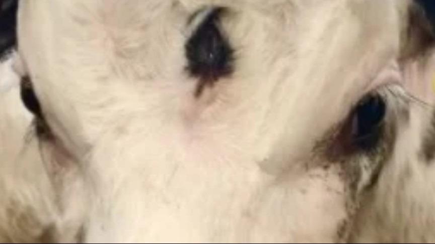 Bezerro com terceiro olho é encontrado no País de Gales