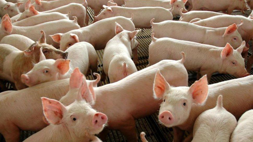 Controle da peste suína africana na China segue complicado
