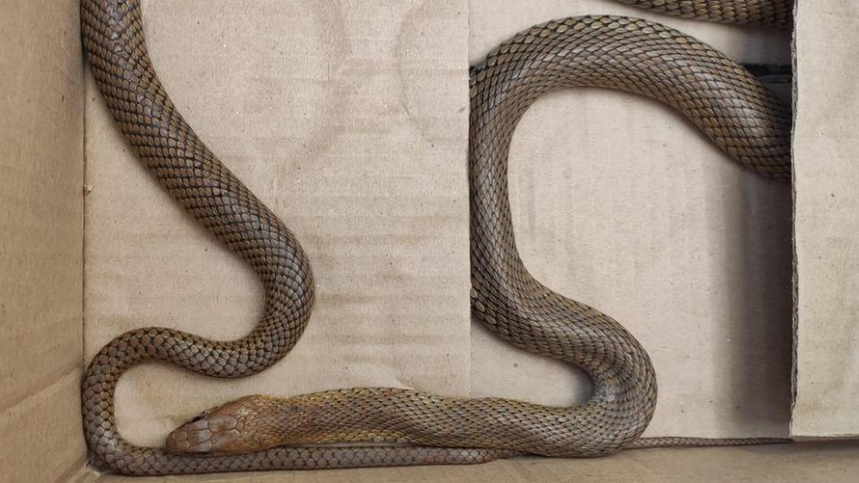 Cobra é capturada em mesa de trabalho na sede do governo de Minas