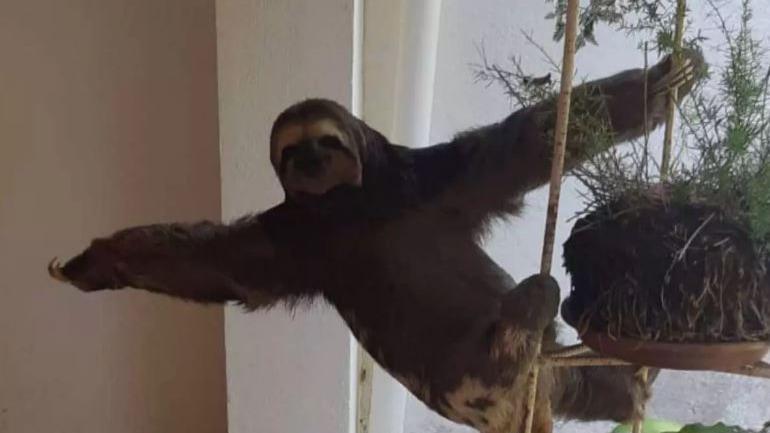 Bicho-preguiça faz 'pose para foto' ao ser resgatado em condomínio de Minas